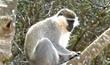 יער הקופים - מושב יודפת